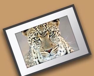 Big cats wall prints