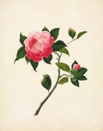 Pink Camellia wall print