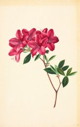 Rhododendron wall print
