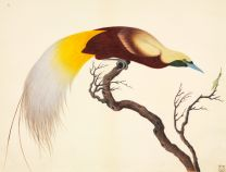 Greater Bird of Paradise wall print
