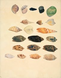 Small conch shells wall print