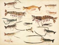 Shrimps wall print
