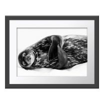 Sleeping Like a Weddell wall print