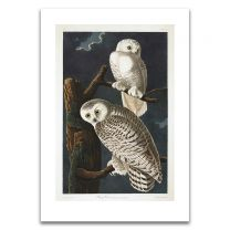 The snowy owl Audubon unframed print