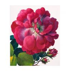 Maroon rose greetings card
