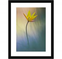 Sun-touched tulip wall print