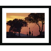 Giraffe family at sunrise wall print