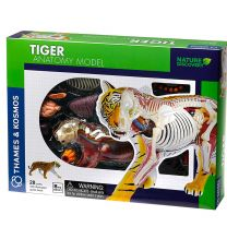 Tiger anatomy model