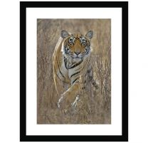 Tiger stalking wall print