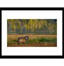 Wolf moment wall print
