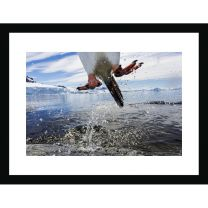 Leaping gentoo penguin wall print