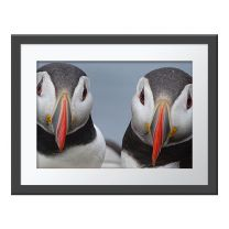 Paired-Up Puffins wall print
