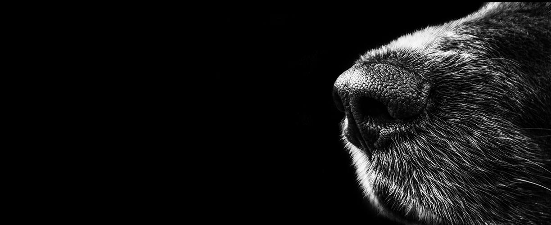 Animal nose against black background