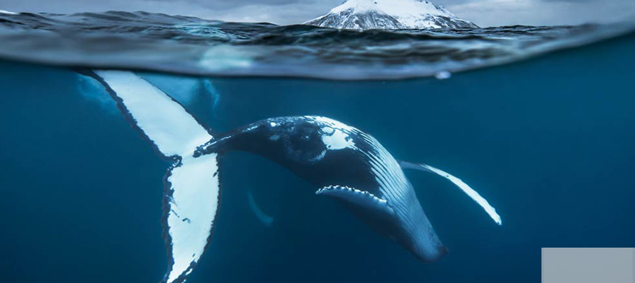 Print of whale swimming under the fjords of Norway