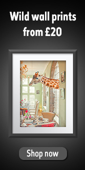 """Wild wall prints from £20"" written above an image of Breakfast Time print showing a giraffe with its head poking through a window of a tea room."