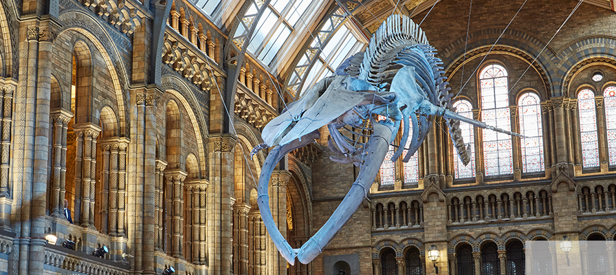 Hope the Blue Whale skeleton in Hintze Hall