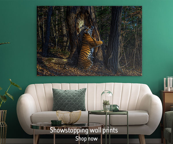 A wall print featuring a Tiger hugging a tree sits on a green wall above a cream sofa with. The text reads 'Showstopping wall prints. Shop now'.