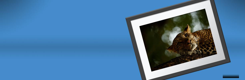 Lounging leopard framed print against a blue background