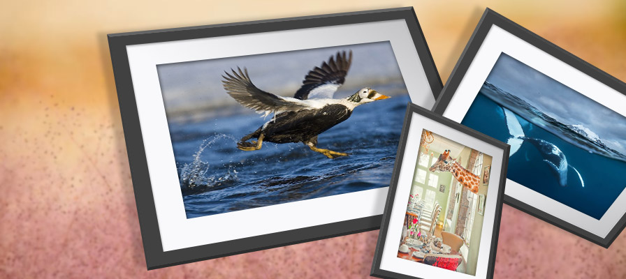Three framed wall prints of wildlife set against a blurred image of a field